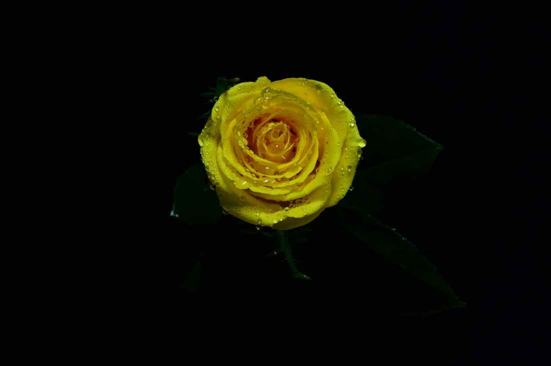 close up photo of yellow rose in bloom